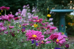 Purple mums and bird bath