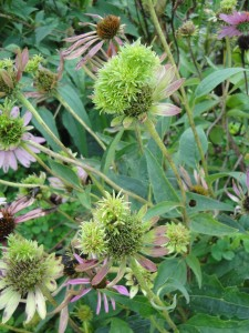 aster yellows on coneflower