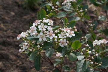 chokeberry blossom