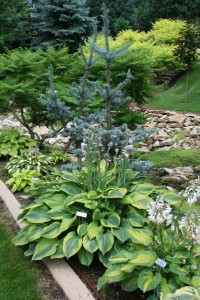 hosta and shrub