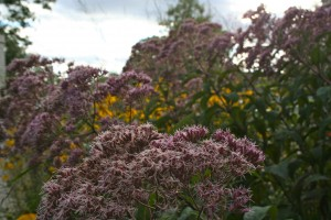 joe pye weed state fair