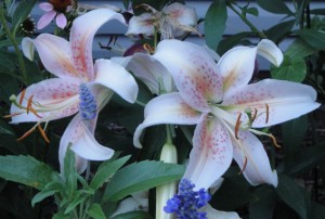 lily and salvia
