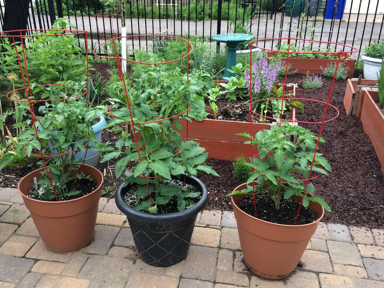 spacing tomatoes
