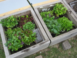 cold frame with lettuce