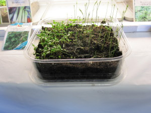 lettuce seeds sprouted