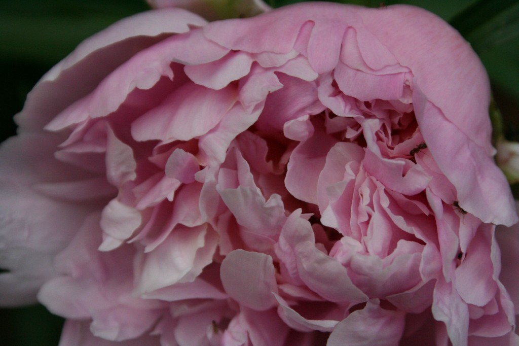 herbaceous peony bloom