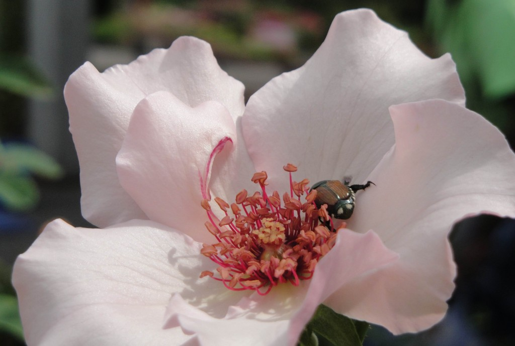 dainty bess rose with beetle