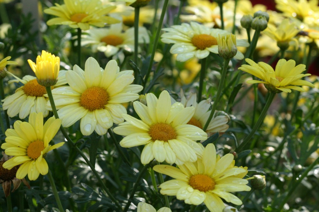 'Flutterby Yellow' Marguerite daisy is an Ecke introduction. The pastel yellow is a beautiful shade with the deeper center.