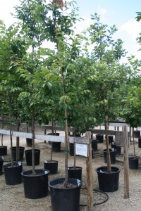 trees for planting