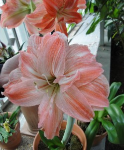 While not traditional holiday colors Amaryllis 'Madrid' would brighten up your home in winter.