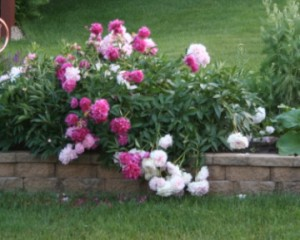Peonies flop after rain