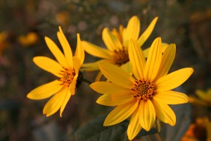 Native plants and hardy perennials are great choices for winter sowing.