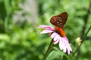 The petals on ray flowers, like coneflowers, are a perfect landing pad for butterflies.