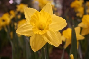 Yes, you will see real, live, blooming daffodils at the Minneapolis Home and Garden Show. Also, lots of great speakers on garden topics.