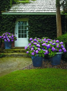 Hydrangeas look great in large, dramatic containers. Bailey Nurseries photo