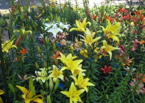 Propagation beds at a local lily breeder's home.