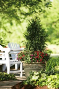 Arborvitae makes a dramatic statement in a container. Photo courtesy of Proven Winners