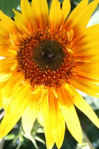 Children love to grow sunflowers from seed, especially the big ones.