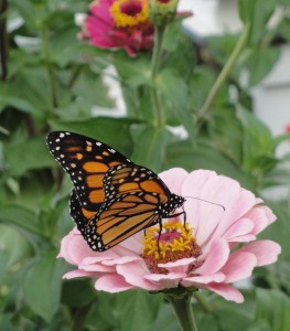Easy to start from seed, zinnias are popular with butterflies, too.