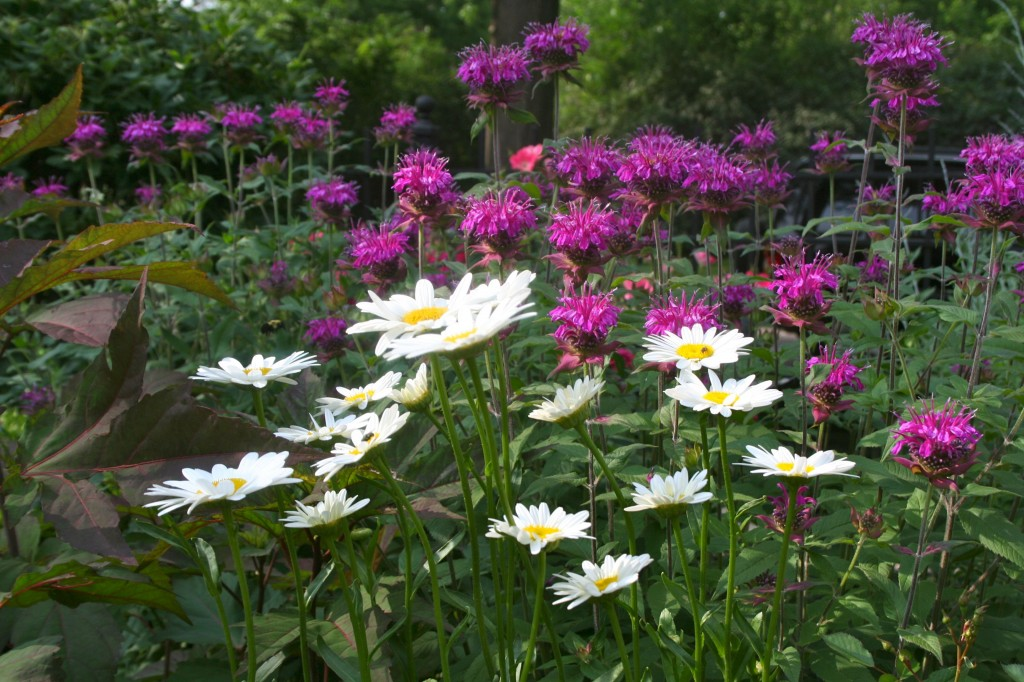 Monarda is tall -- it's a great choice for the back of the border.