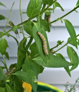 Monarch caterpillars swarm a planting of butterfly milkweed (Asclepias tuberosa). Milkweed is the only plant monarch caterpillars eat.
