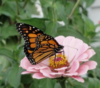 Monarchs love zinnias.
