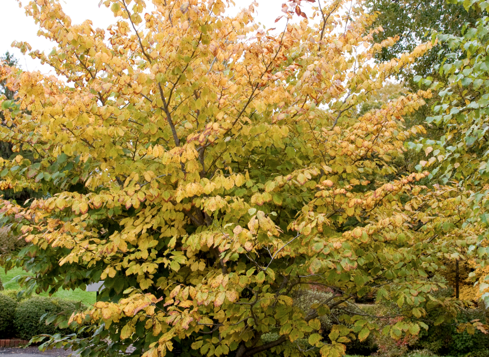 Fall color on common witch hazel. Photo courtesy of Bailey Nurseries Inc.
