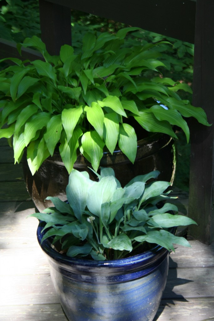 blue hosta in blue container
