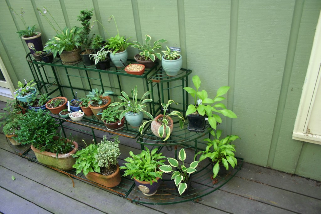 deck garden of hostas in containers