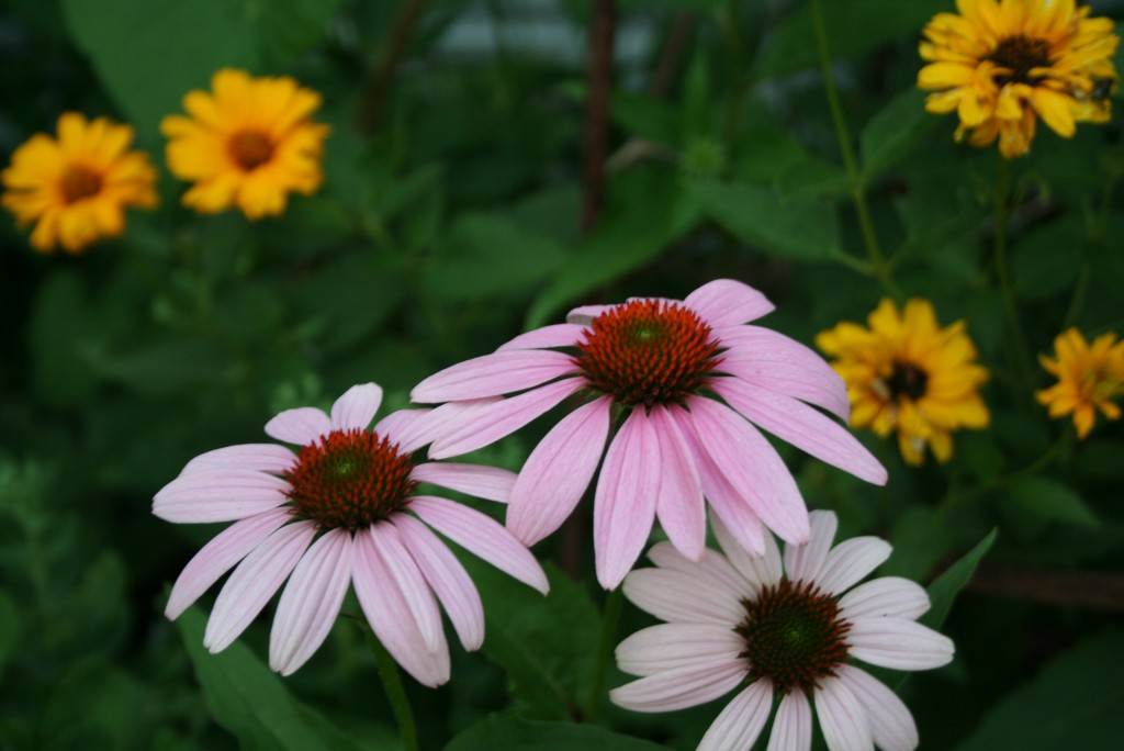 Purple coneflower -- a classic plant for butterflies for sunny, loamy sites.