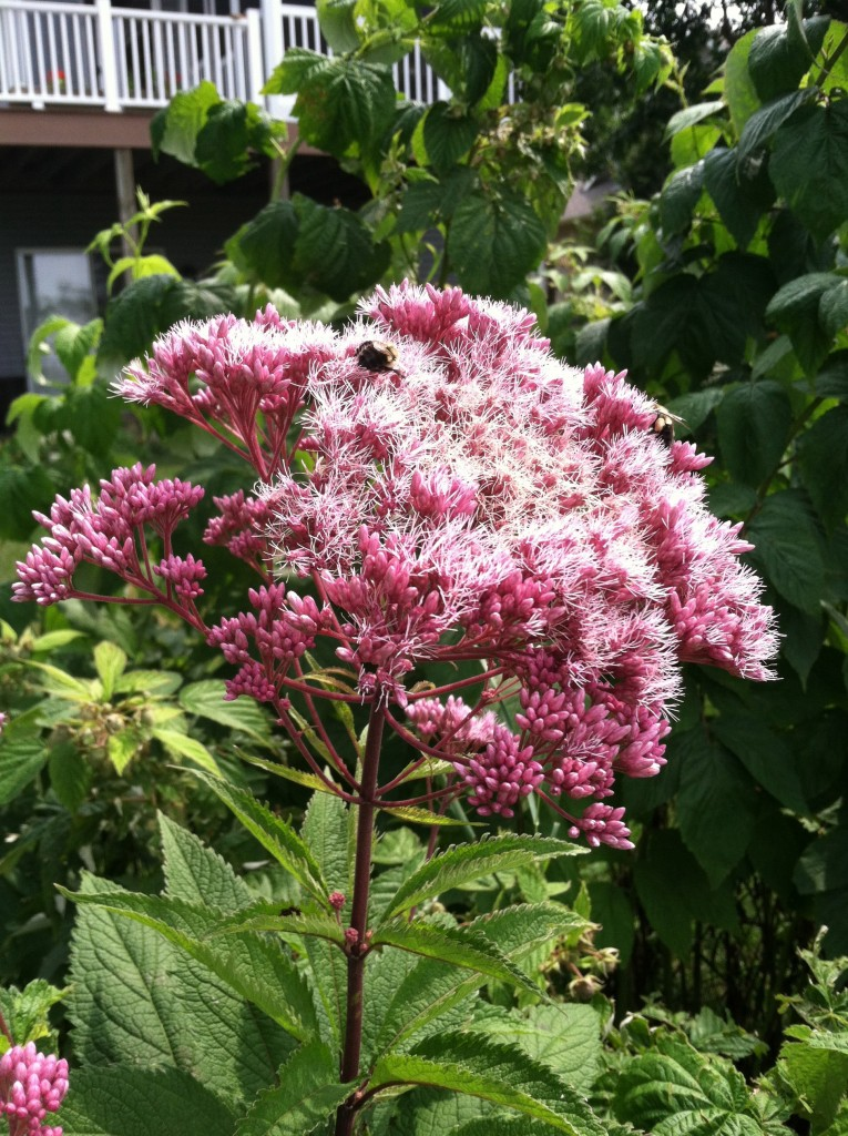 Spotted Joe Pye weed likes sun and moist soil.