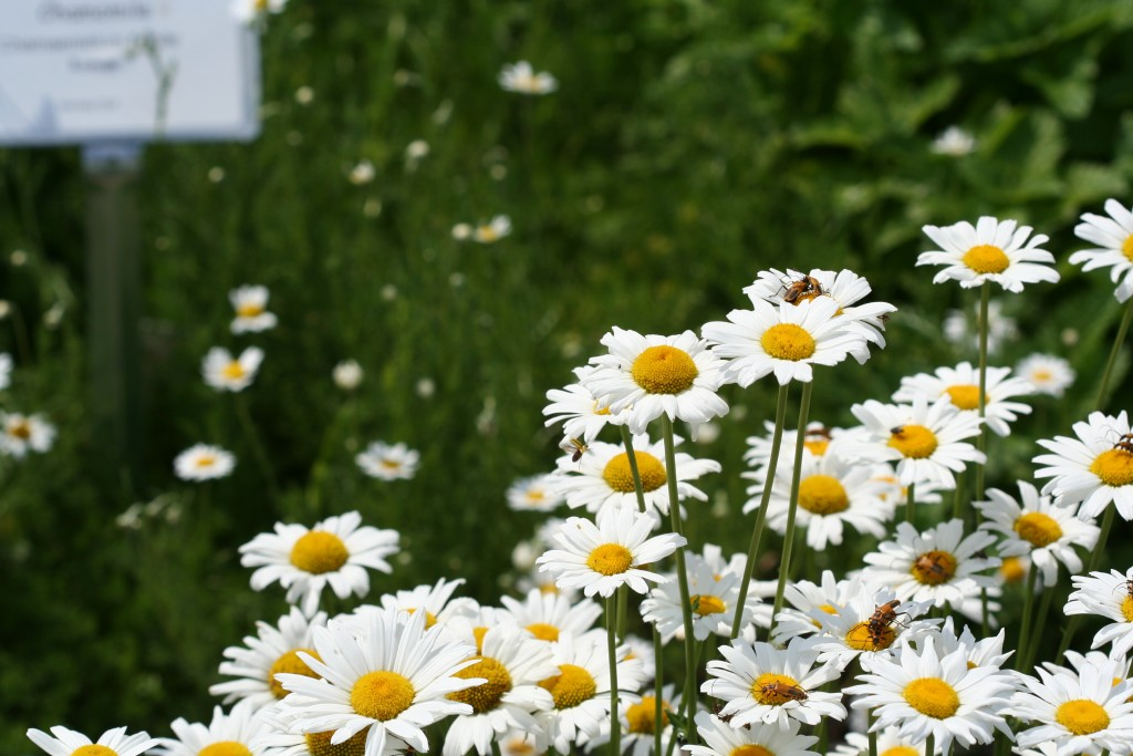 Pollinators swarmed the shasta daisies at the trial gardens at the U of M St. Paul campus last summer.