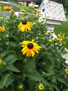 Rudbeckia in this suburban garden is a bee magnet. Great for a sunny, dry site.