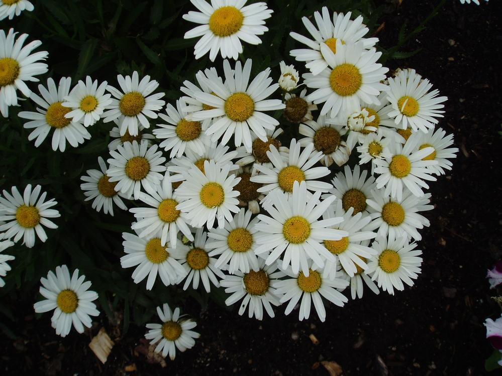 'Snow Lady' shasta daisy Photo courtesy of All-America Selections