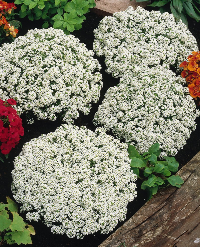 'Snow Crystals' alyssum Photo courtesy of Pan American Seed