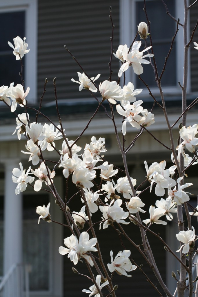 Plant Profile Magnolias For Minnesota