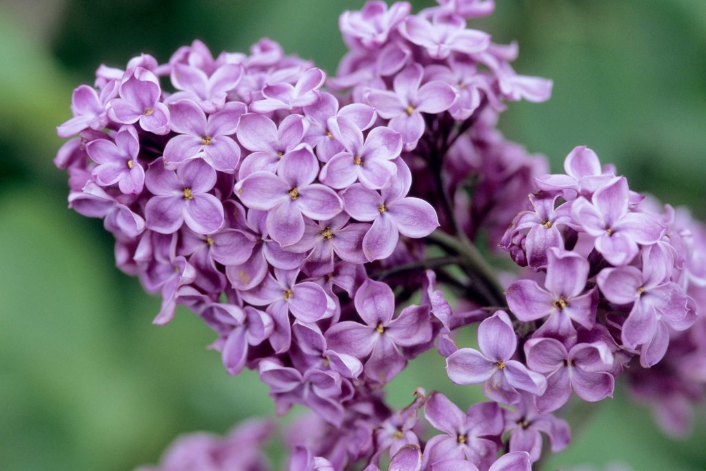 Declaration lilac (Photo courtesy of Bailey Nurseries)