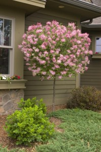 Tree form of Tinkerbelle® lilac. (Photo courtesy of Bailey Nurseries)