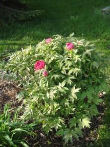 Plant tree peonies in the middle or back of a border with later blooming plants in front of them.