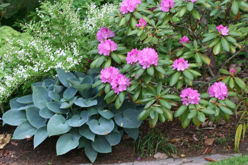 The bright pink blooms on the rhododendron really pop and complement the  blue hosta. Out of bloom season, the hosta is a calm underplant for the rhododendron.