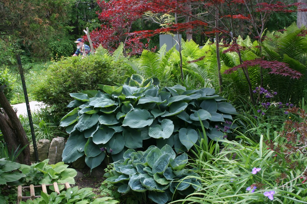 In this gorgeous planting, the hosta, the ferns and the Japanese maple are all visually strong, but they don't clash.