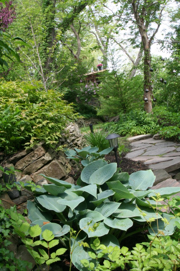 In this beautiful, but very vertical garden, the hosta edged a path and contrasted with the stonework.