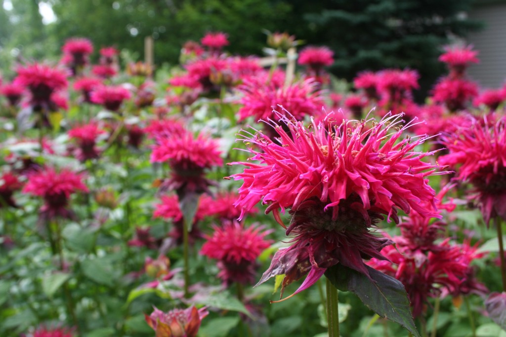 These bee balm plants were about 5 feet tall and stunning.