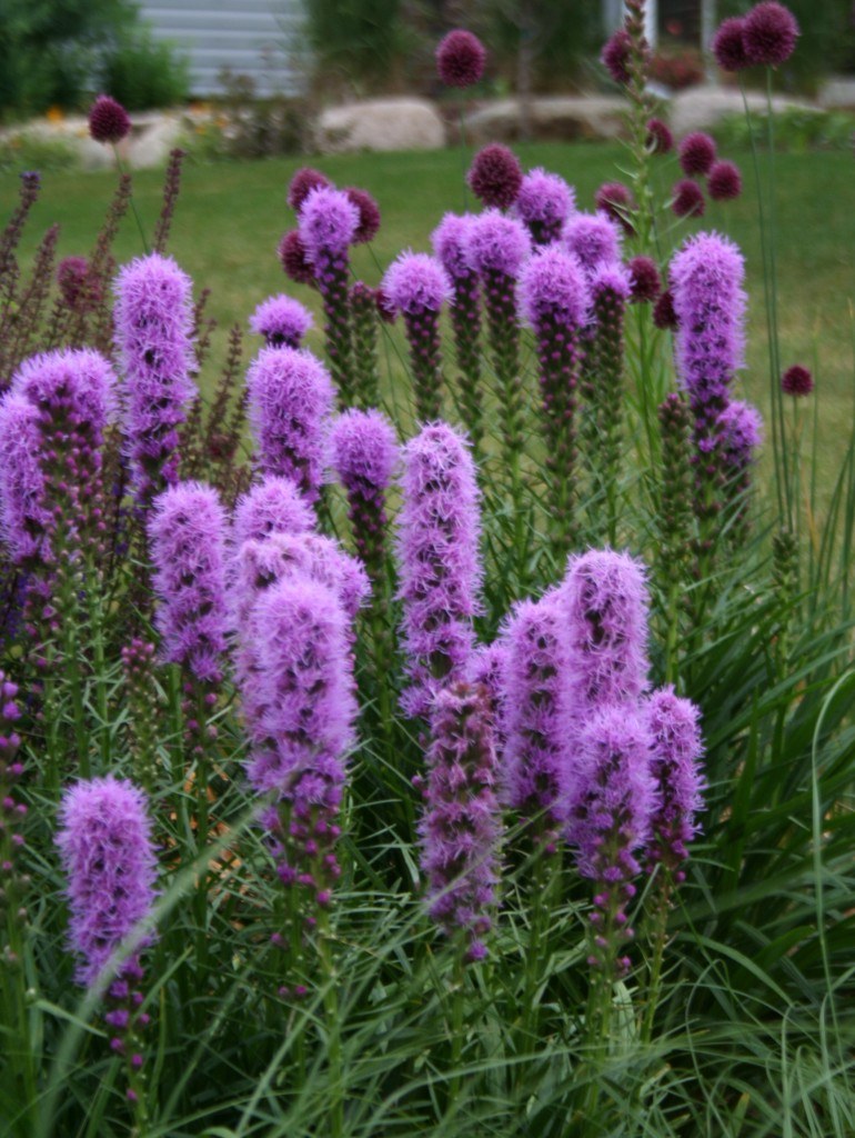 'Kobold' liatris has a bright purple bottlebrush flower that blooms from now through August.