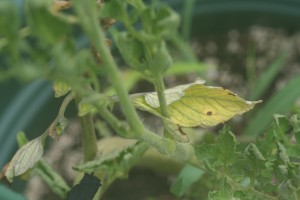 "Northern gardeners are seeing lots of spotted and yellowing leaves, prompting them to ask, ""What's wrong with my tomato?"""