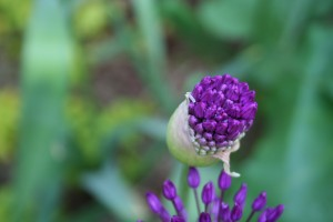 Plant giant allium in fall for a great spring show.