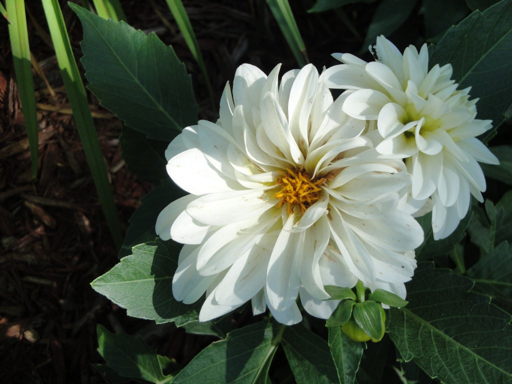 The variety of bloom sizes and colors is one reason gardeners love dahlias.