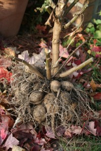 Grown from seed, this dahlia plant produced plenty of tubers.