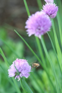 A bee heads for a chive flower.