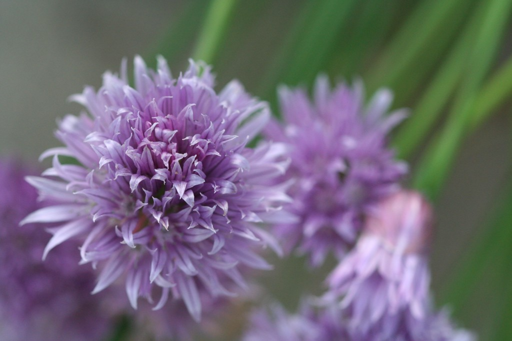 Chives have pretty blooms as well as tasty stems.